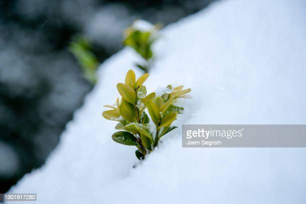 buchsbaum im schnee - variable schärfentiefe stock pictures, royalty-free photos & images