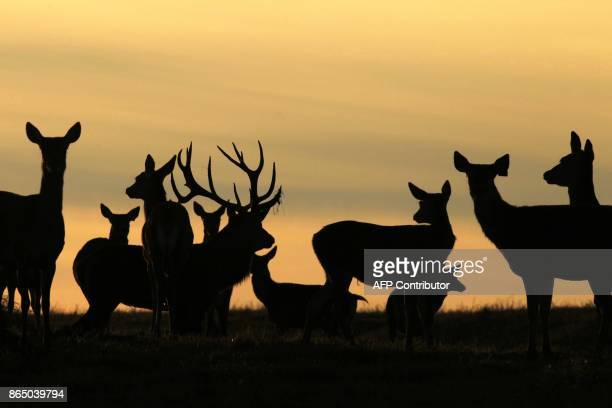 A buck and does are silhouetted at sunset bellows near the village of Gorodilovichi some 300 kilometers north of Minsk on October 22 2017 / AFP PHOTO...