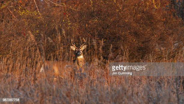 buck at sunrise - white-tailed deer - fragility stock pictures, royalty-free photos & images
