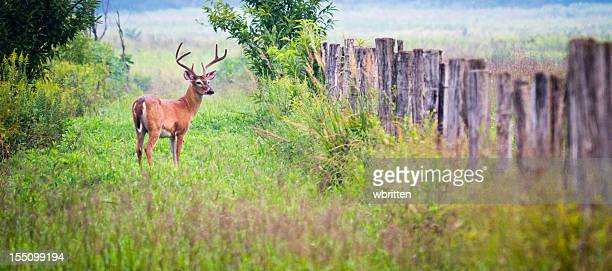 Buck Deer in Cades Cove area of the Smoky Mountains