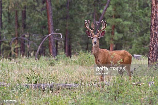 buck deer picture - white tail buck stock photos and pictures