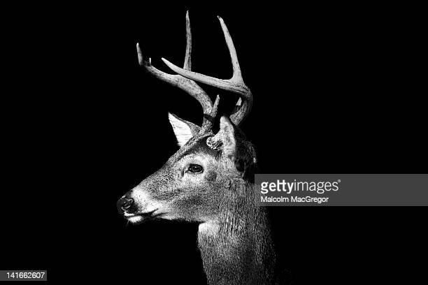buck in black and white - bucks photos et images de collection