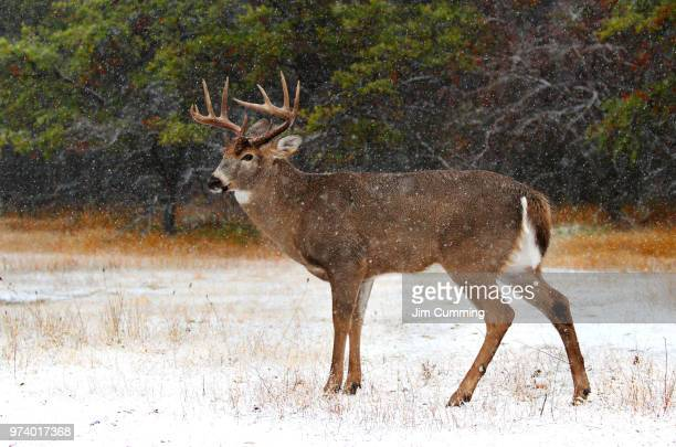 Buck in snow - White-tailed deer