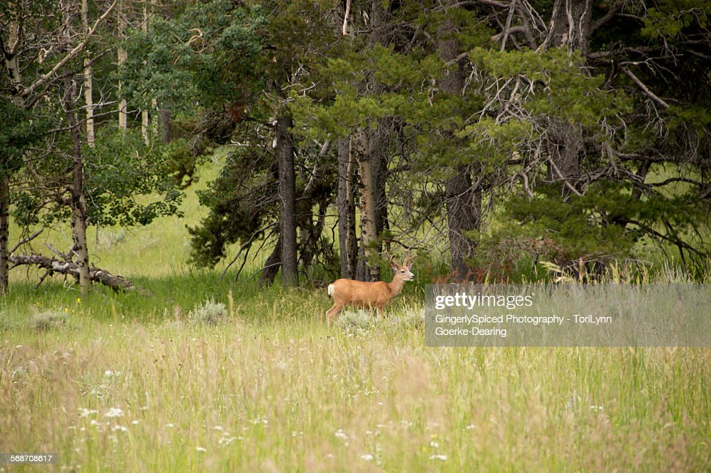 Buck in the mountains : Stock Photo