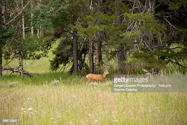 buck in the mountains - casper wyoming stock pictures, royalty-free photos & images
