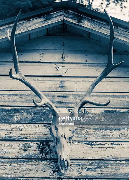 buck skull hanging on exterior of wooden building - heshphoto stock-fotos und bilder