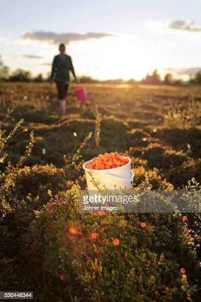Bucket full of cloudberries, woman in background