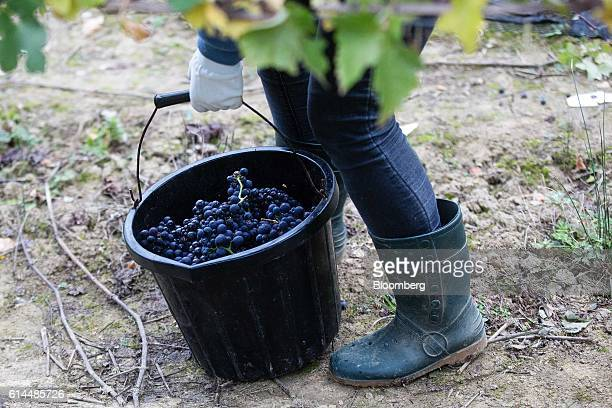 A bucket full of freshly picked Pinot Meunier grapes is carried in the vineyard at the Ridgeview Estate Winery in Sussex UK on Thursday Oct 13 2016...
