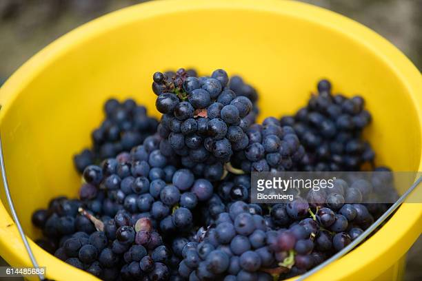 A bucket full of freshly picked Pinot Meunier grapes sits in the vineyard at the Ridgeview Estate Winery in Sussex UK on Thursday Oct 13 2016 Then UK...