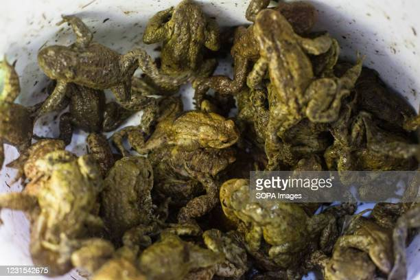 Bucket full of toads that will be carried across the road is seen during an action for protection of migrating amphibians. The Institute of the...