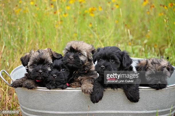 bucket of five adorable havanese puppies - lynn pleasant stock pictures, royalty-free photos & images