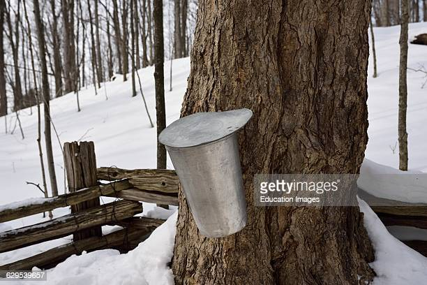 Bucket on old sugar Maple tree in Ontario forest to collect sap for syrup