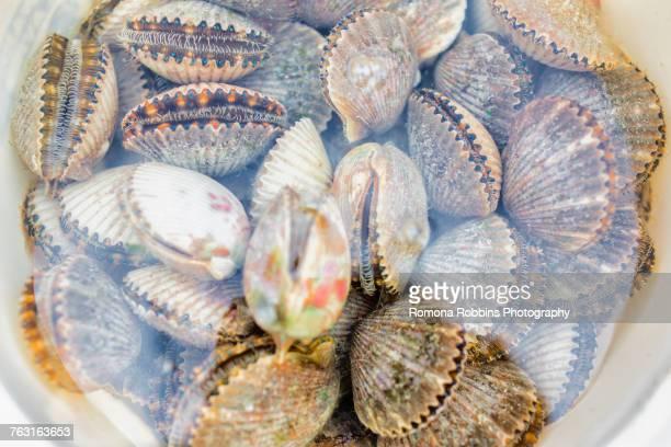 Bucketful of fresh scallops