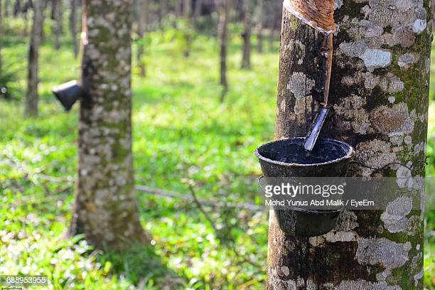 Buckets Hanging On Rubber Trees
