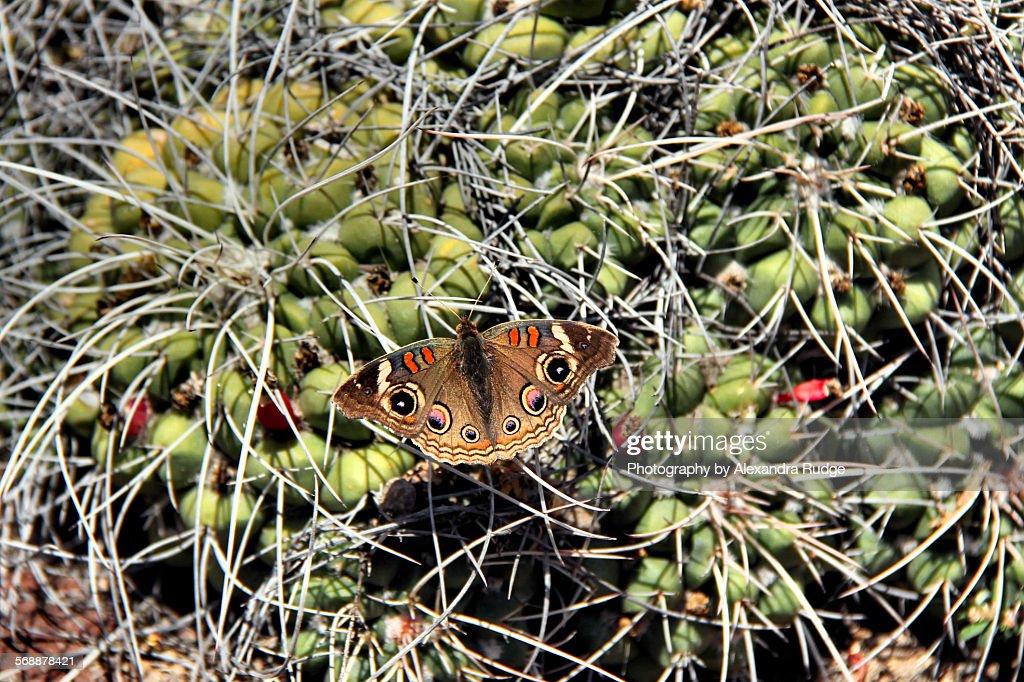 Buckeye butterfly. : Stock Photo