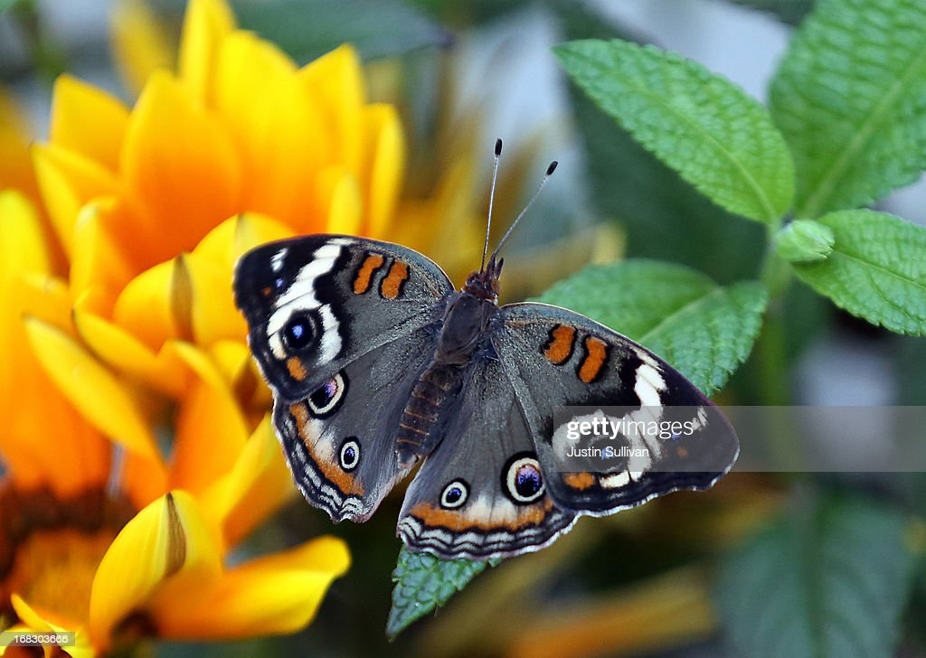 A Buckeye butterfy sits on a flower during the first day of the 'Butterflies and Blooms' exhibit at the Conservatory of Flowers in Golden Gate Park on May 8, 2013 in San Francisco, California. The popular 'Butterflies and Blooms' exhibit has returned to the Conservatory of Flowers and features more than 20 species of North American butterflies including Monarchs, Western Swallowtails and more.