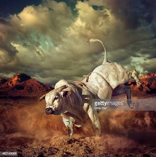 bucking bull kicking dirt in desert - bull animal stock photos and pictures