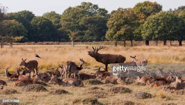 a bucks guarding a roup of young red deer in a field - tierpaarung stock-fotos und bilder
