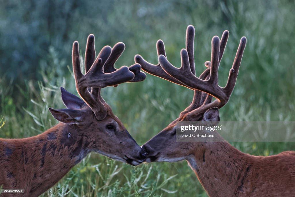 Bucks In Velvet Kiss : Stock Photo