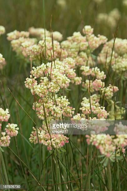 Buckwheat, Eriogonum umbellatum