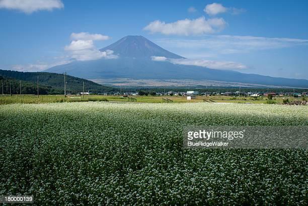 Buckwheat field and Mt.Fuji
