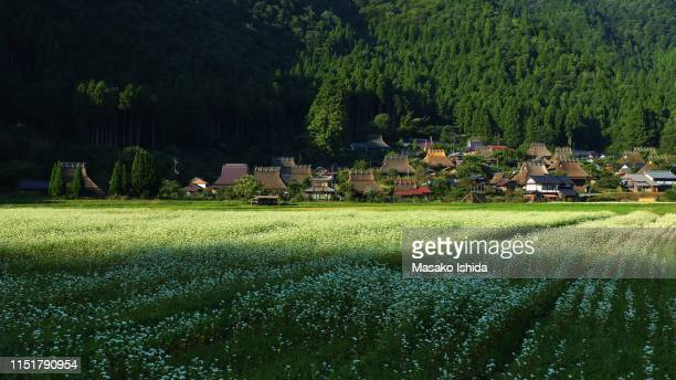 buckwheat field bathed in sunlight and shadows - 九月 ストックフォトと画像