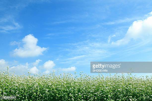 buckwheat flowers and sky - buckwheat stock pictures, royalty-free photos & images