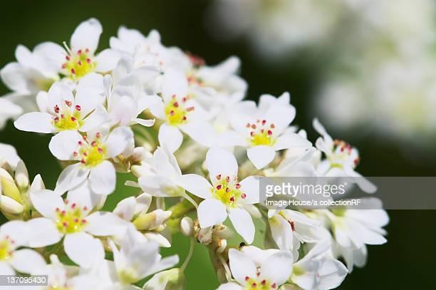 Buckwheat flowers, Hokkaido Prefecture, Japan