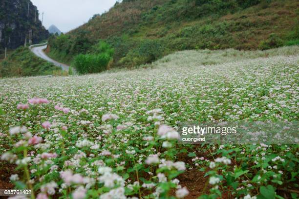 Buckwheat flowers shimmering in the wind with a pink and purple colors make up the beautiful color of buckwheat fields
