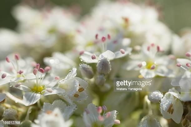 Buckwheat flowers with dew