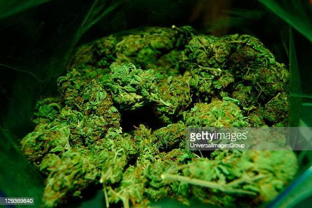 Bud of marijuana UK 1990's
