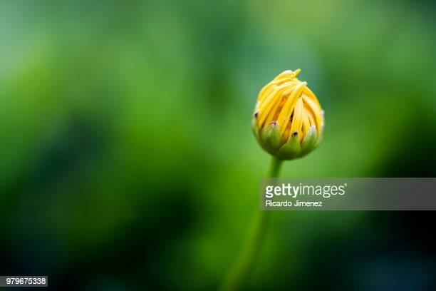 bud of yellow flower in close-up - bud stock pictures, royalty-free photos & images