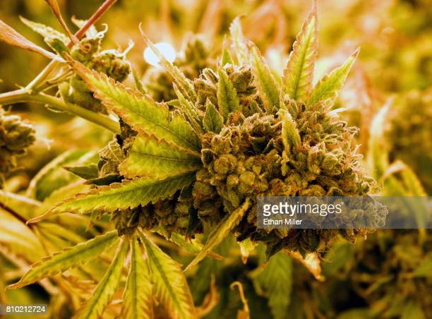 A bud on a growing marijuana plant is shown at Essence Vegas' 54000squarefoot marijuana cultivation facility on July 6 2017 in Las Vegas Nevada On...