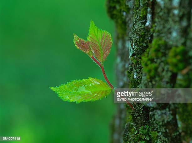 Bud on the trunk of a Japanese elm. Tomakomai, Hokkaido, Japan