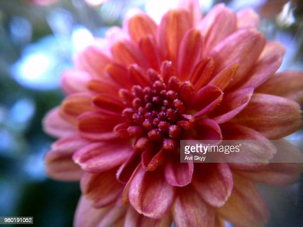 bud - chrysanthemum stock pictures, royalty-free photos & images