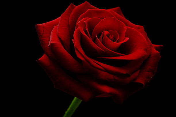 Beautiful Single Red Rose Flower Isolated Royalty Free: Free Red Rose Black Background Images, Pictures, And