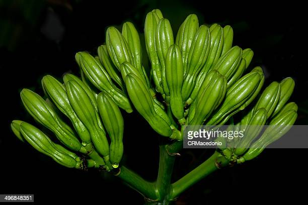 bud sisalana agave - crmacedonio stock photos and pictures