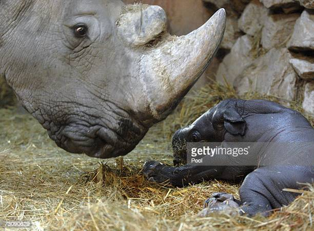 Budapest Zoo's 27 years old 2500 kg southern white rhinoceros Lulu smells her new born calf on January 23 2007 in Budapest Hungary Staff decided to...