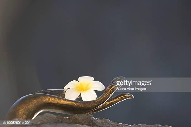 Buddha hand holding frangipani flower, close-up