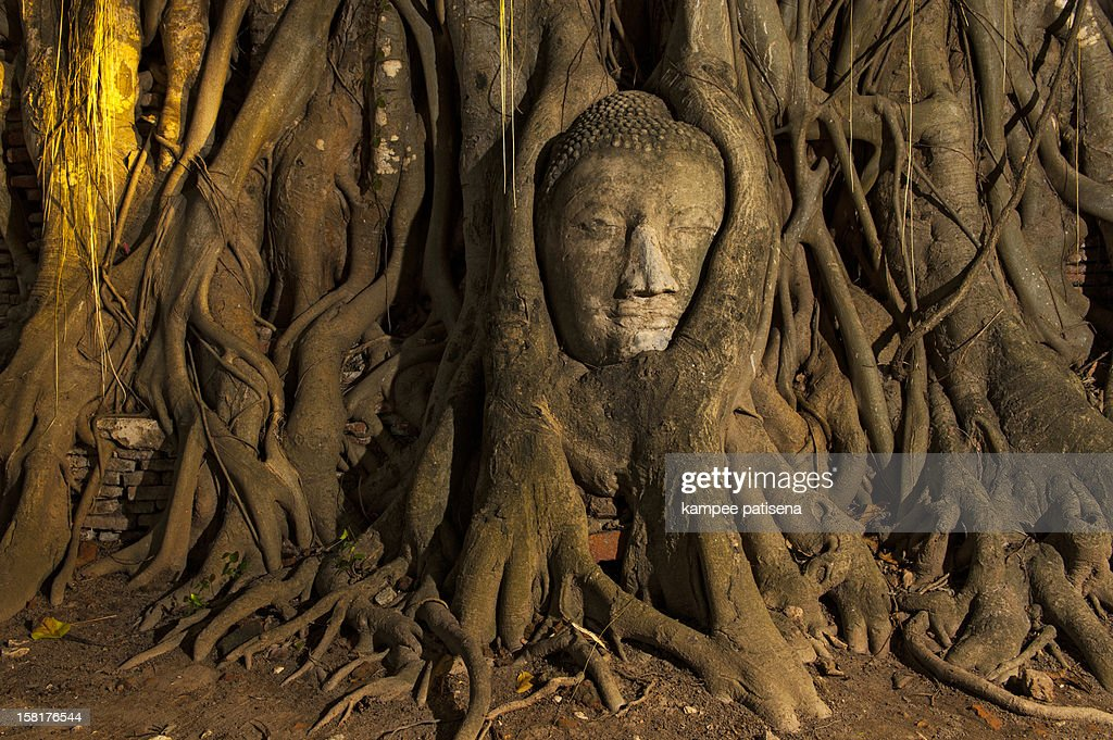 Buddha head overgrown by fig tree in Wat Mahatat : Stock Photo
