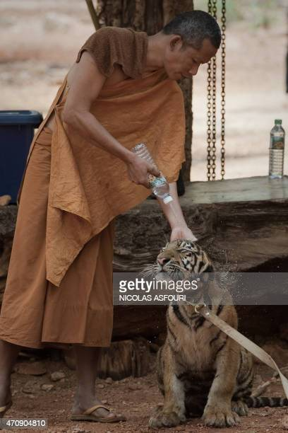 A Buddhist monk sprays water onto a baby tiger at the Tiger Temple in Kanchanaburi province on April 24 2015 Thai wildlife officials began a...
