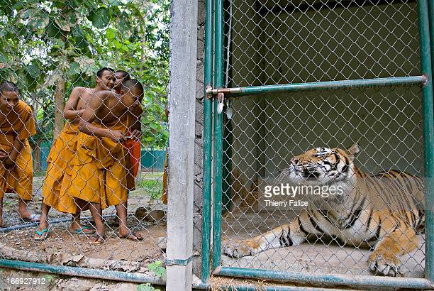 Buddhist monks watch Meow an injured tiger rescued from a gas station where customers could pose with it for pictures at the Kao Look Chang Wildlife...
