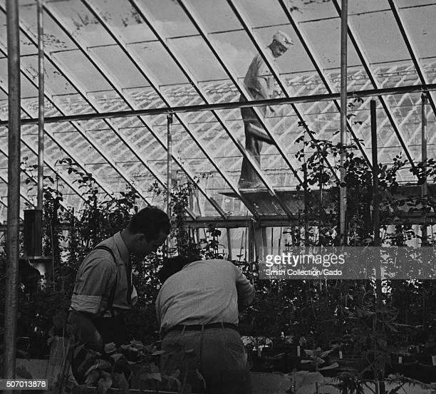 Budding a rose in USDA experimental greenhouse Prince Georges County Beltsville Maryland 1935 From the New York Public Library