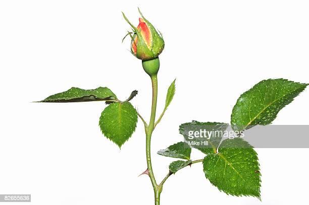 Budding garden rose against white background