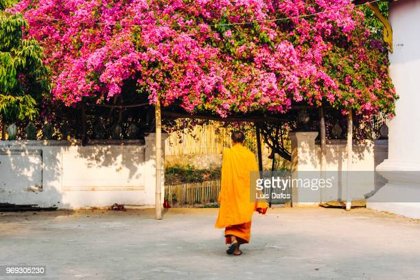 Buddist monk and big bougainvillea