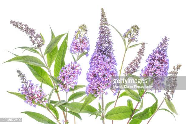 buddleia flowers - mandy pritty stock pictures, royalty-free photos & images