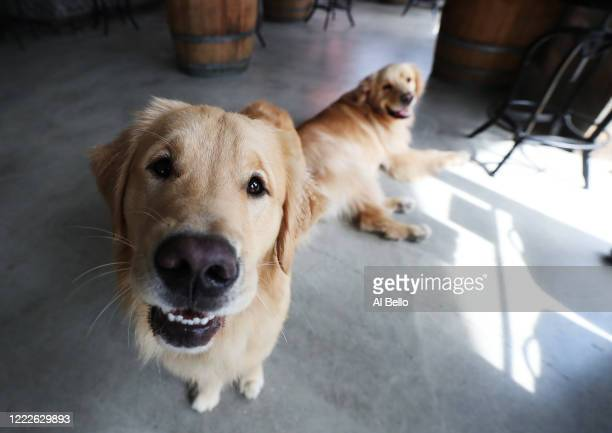 Buddy and Barley wait as their owners Mark and Karen Heuwetter prepare their beer orders prior to taking the dogs on a beer delivery drive to their...