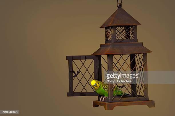 Budgerigar Escaping Cage