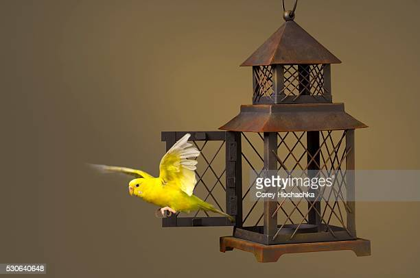 Budgerigar Escaping Cage