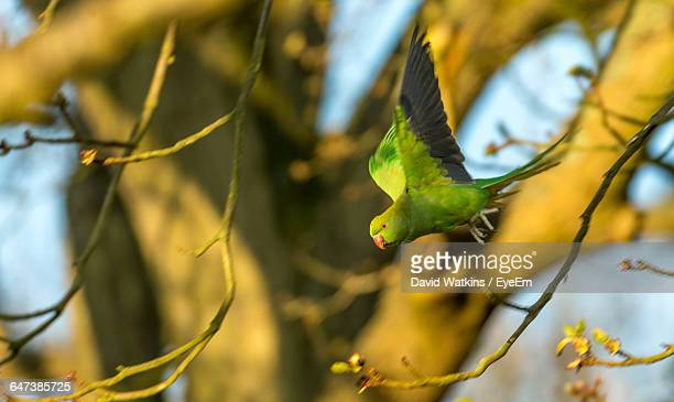 Budgerigar Flying Amidst Twigs